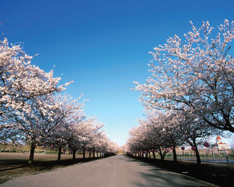 渡良瀬運動公園の桜並木