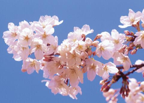 全国イカリ桜コンクール